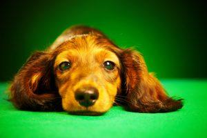 puppy dachshund hund